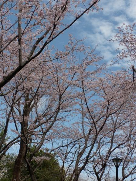 つくばの桜 4