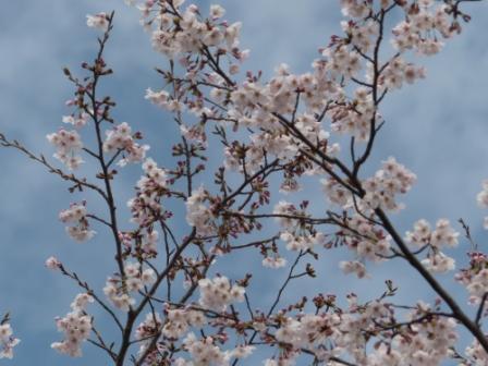 つくばの桜 5