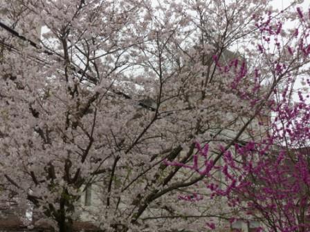 松山地方気象台 桜 と ハナズオウ