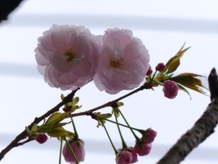 三番町 八重桜 1