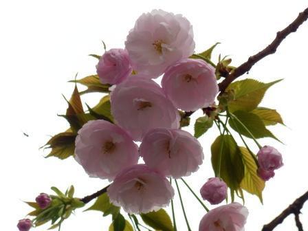 三番町 八重桜 2