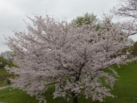 石手川公園の桜 1