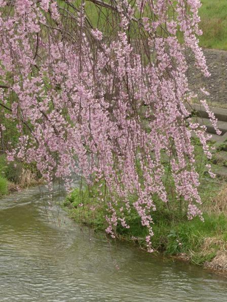石手川公園の桜 4