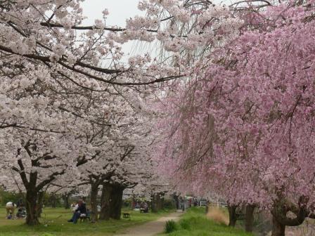 石手川公園の桜 12