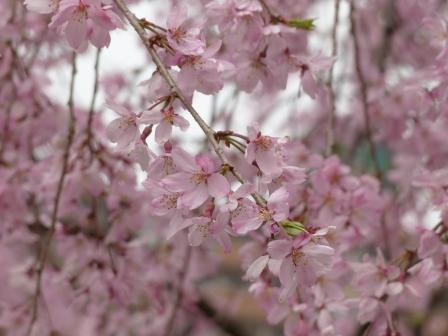 石手川公園の桜 8