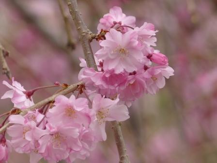 石手川公園の桜 10