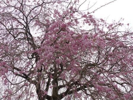 石手川公園の桜 11