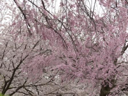 石手川公園の桜 13