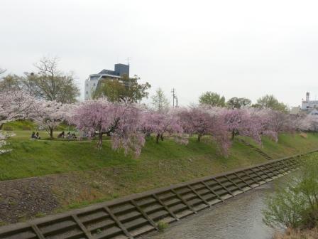 石手川公園の桜 14