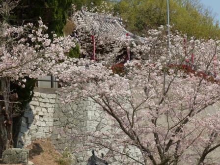西法寺 桜 3