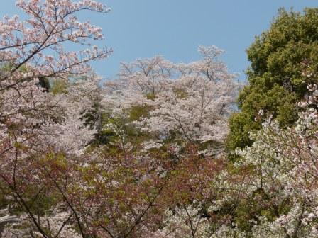西法寺 桜 4