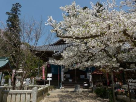 西法寺 大島桜 & 薄墨桜 1