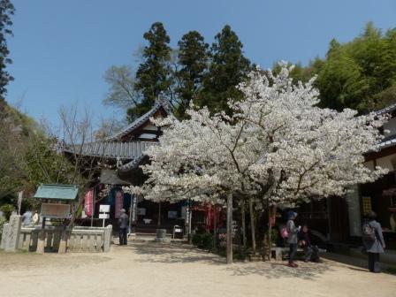 西法寺 大島桜 & 薄墨桜 2