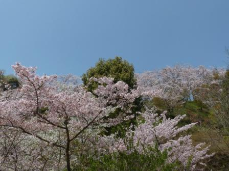 西法寺 桜 1