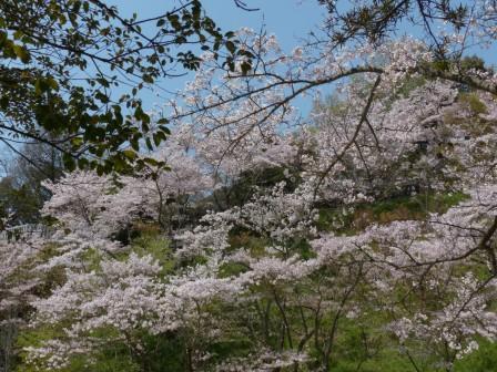 西法寺 桜 2