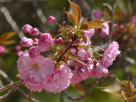 道後公園 八重桜 2