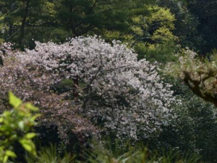 道後公園 桜 1