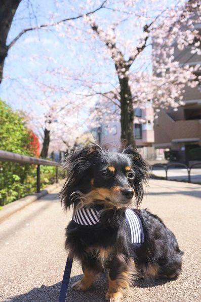 桜の緑道 (2)