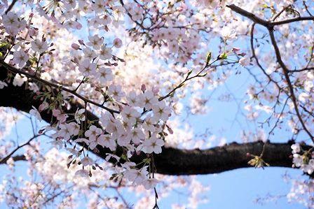 桜の緑道 (5)