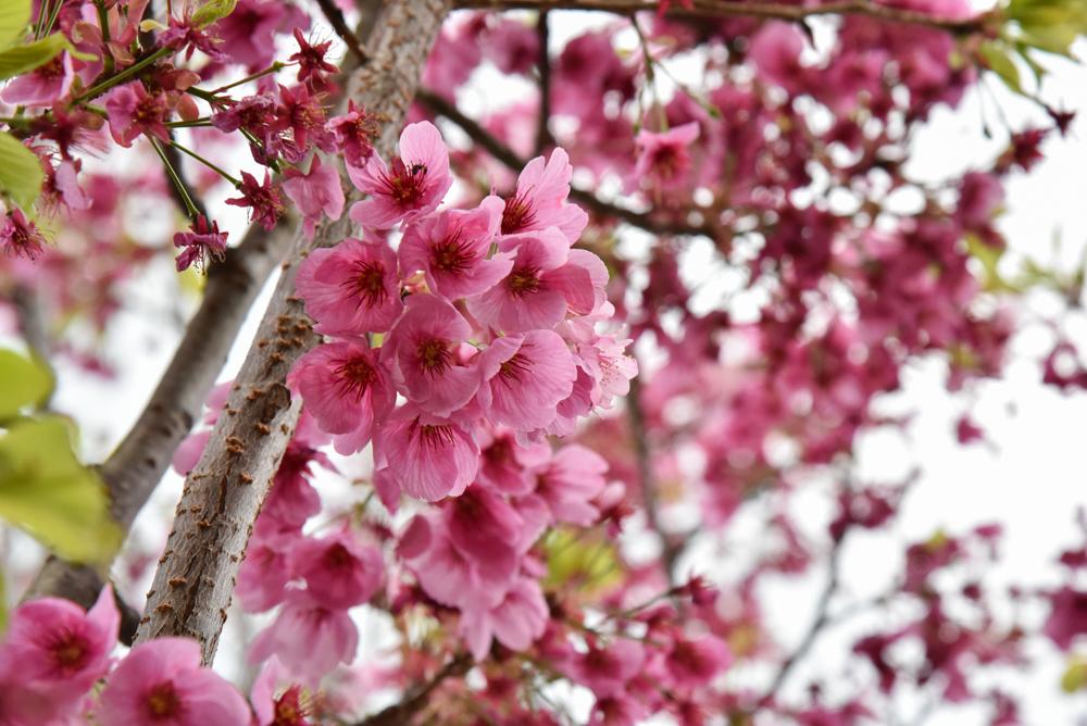 DSC_2221陽光桜