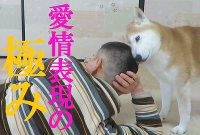 散髪したての飼い主の頭大好き柴犬ちゃめ