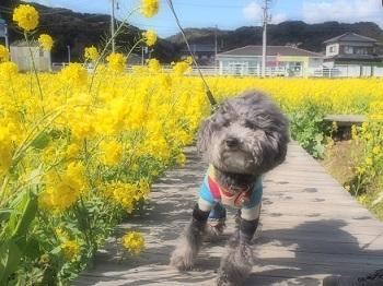 うちのこ記念旅行菜の花畑20170307-6