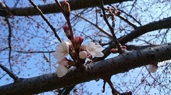 きょうの桜20170328