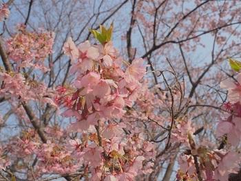 お花見20170319-4
