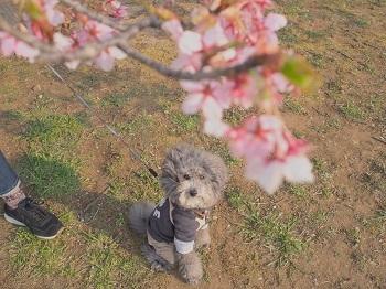 お花見20170319-9