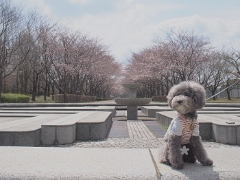 お花見20170402-1