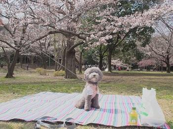 お花見20170402-5