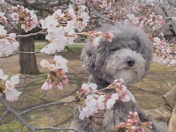 お花見20170402-8