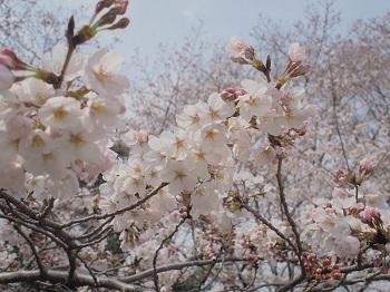 お花見20170402-10