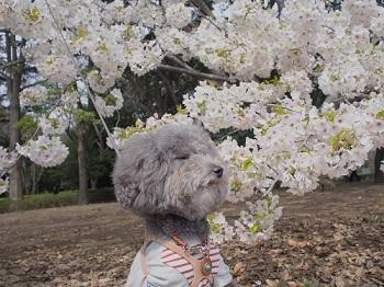 お花見20170402-11