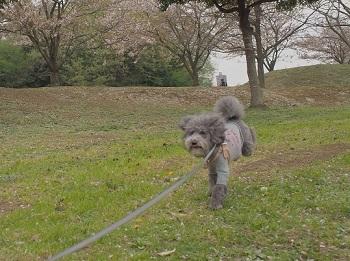 おさんぽ20170415-2