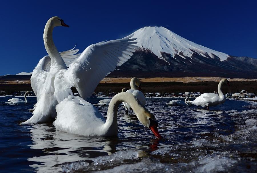 白鳥はばたき_filtered