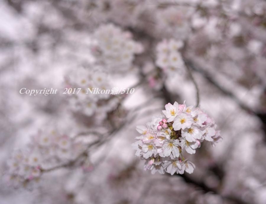 桜 D3 (68)SN