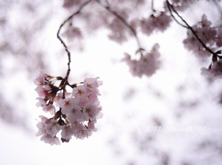 桜 D3 (74) 2 SN
