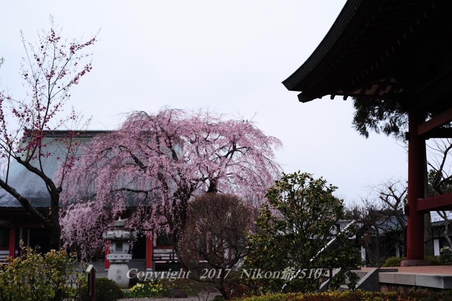 善導寺桜 D3 (57)SN