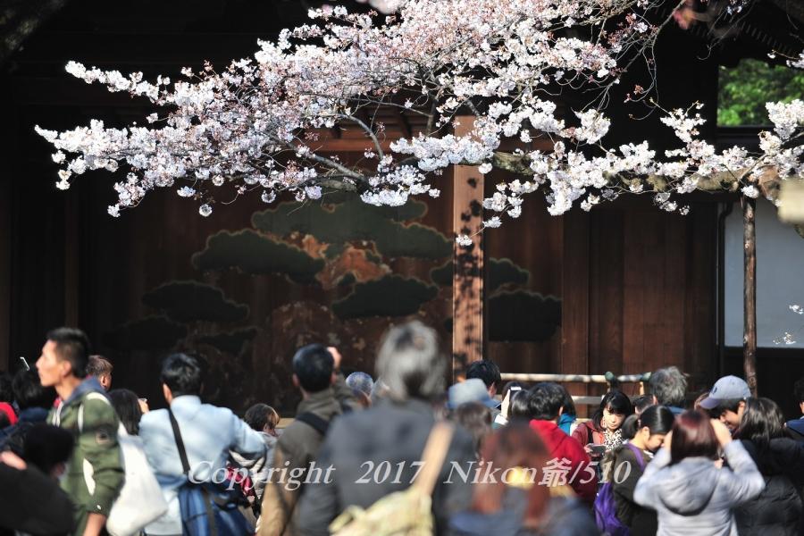 靖国神社開花宣言の桜 (71)