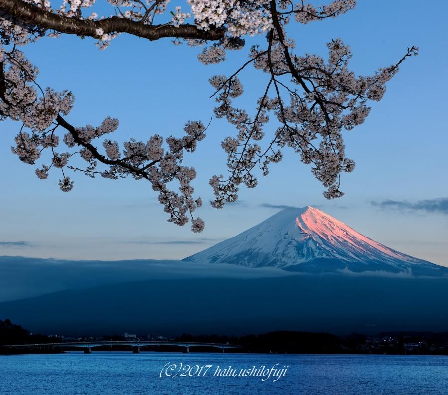 河口湖 桜SNF