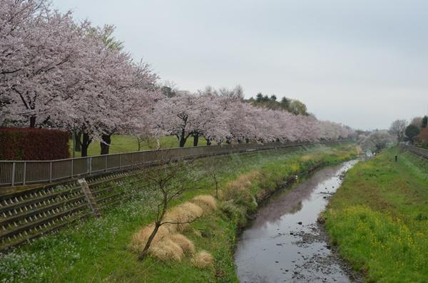 170409野川の桜01