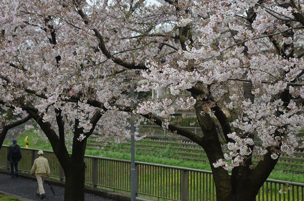 170409野川の桜03