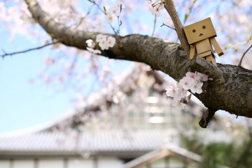 桜とダンボー 02