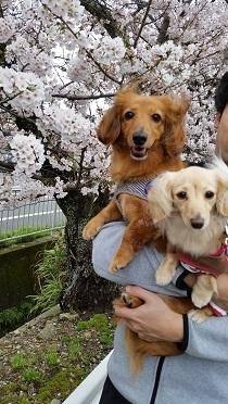 ワンコ達と桜