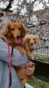 桜とワンコ達