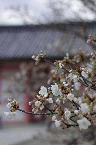 御室桜170413
