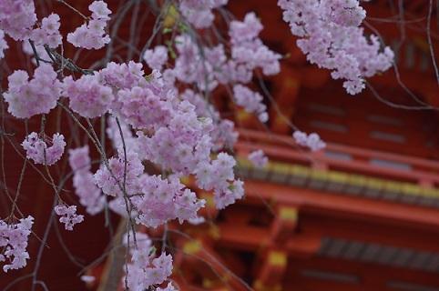 八重枝垂桜170413