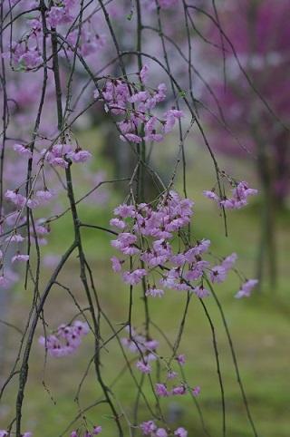 枝垂桜170413