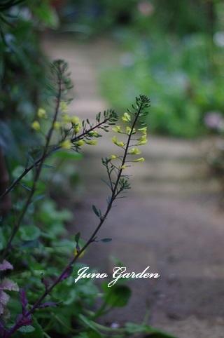 葉牡丹の花170415